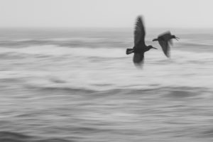 Birds in flight on the Oregon coast