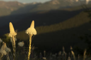 Bear grass on Mt. Rainer - 2019 Christopher Lisle