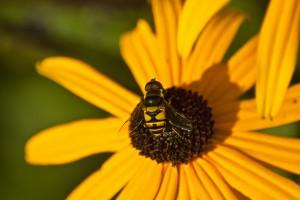 """- """"Bee"""" (1) Glossy 11 x 17"""