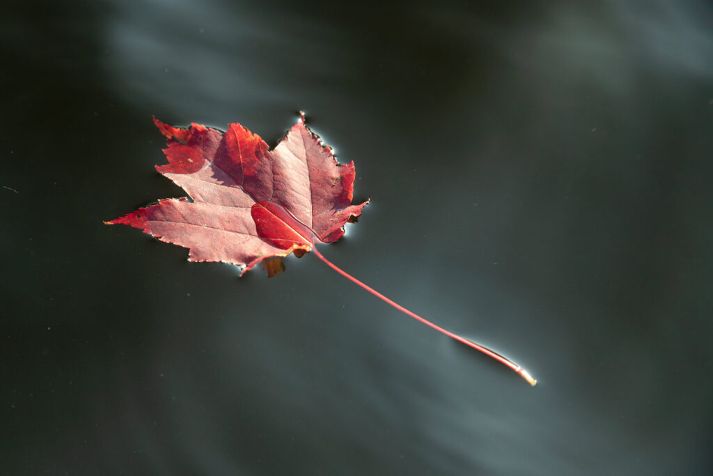 Maple Leaf floating in water – Vermont
